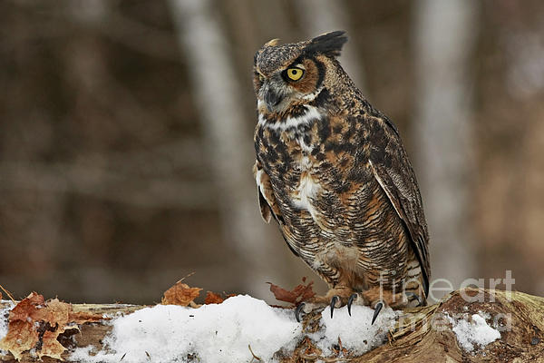 Great Horned Owl In A Snowy Winter Forest Print by Inspired Nature Photography By Shelley Myke
