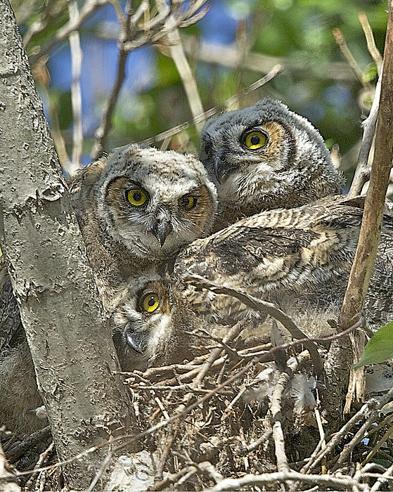 Leslie Reagan -  Joy To The Wild Photos - Great Horned Owlet Triplets Stacked Pose