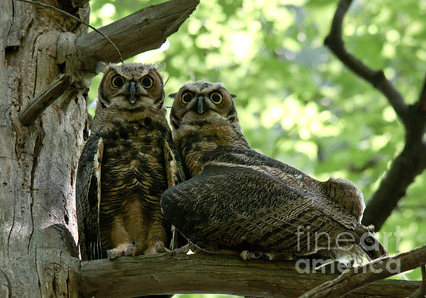 Great Horned Owls Print by Cheryl Baxter