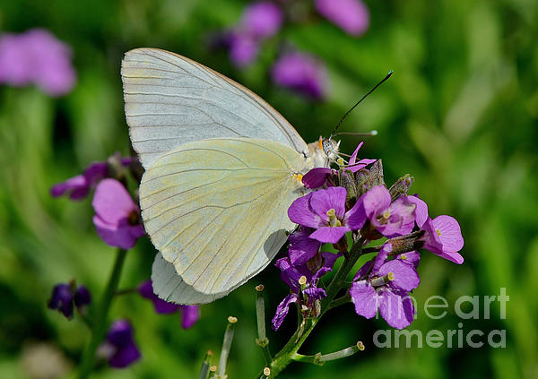 Great Southern White Butterfly Print by Kathy Baccari