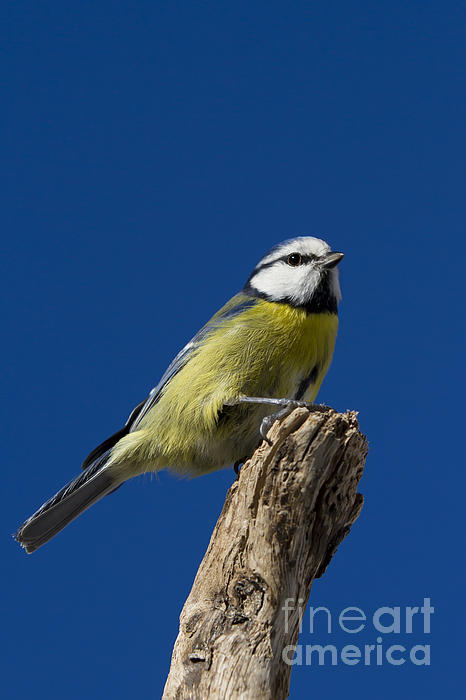 Great Tit On Blue Print by Maurizio Bacciarini