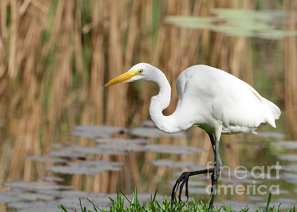 Great White Egret By The River Print by Sabrina L Ryan
