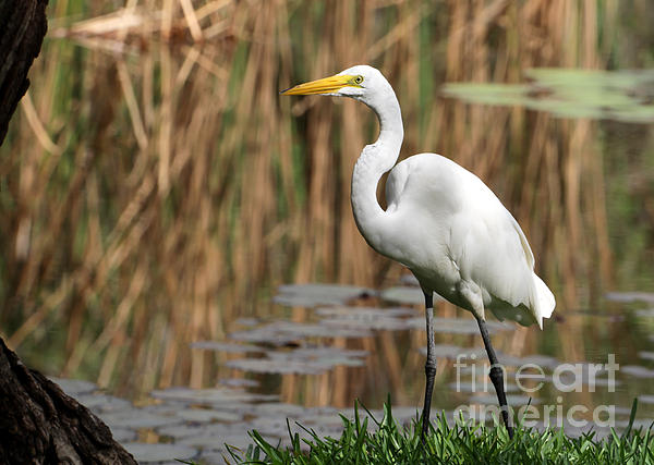 Great White Egret Taking A Stroll Print by Sabrina L Ryan