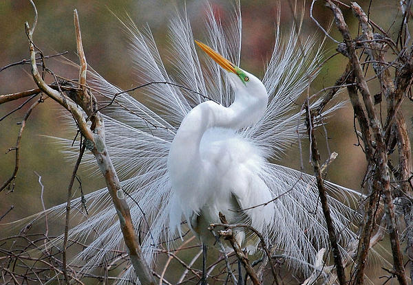 Kathy Baccari - Great White Egret With Breeding Plumage