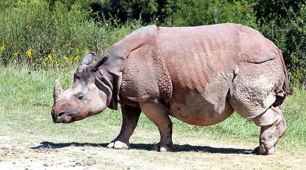 Greater One-horned Asian Rhino Print by Laurel Talabere
