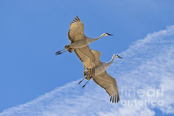 Greater Sandhill Cranes In Flight Print by William H Mullins