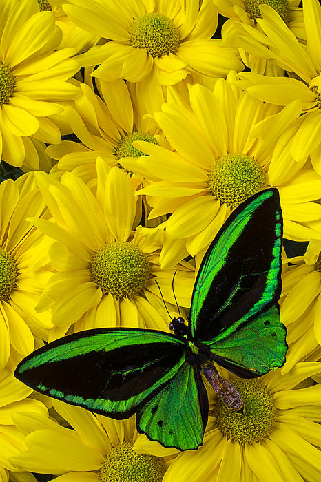 Green Butterfly On Yellow Mums Print by Garry Gay