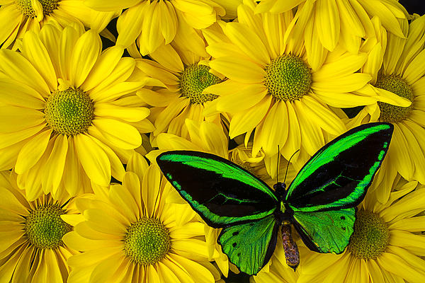 Green Butterfly Resting Print by Garry Gay
