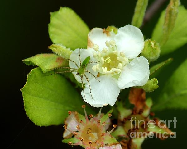 Green Lynx Spider On Blossom Print by Theresa Willingham