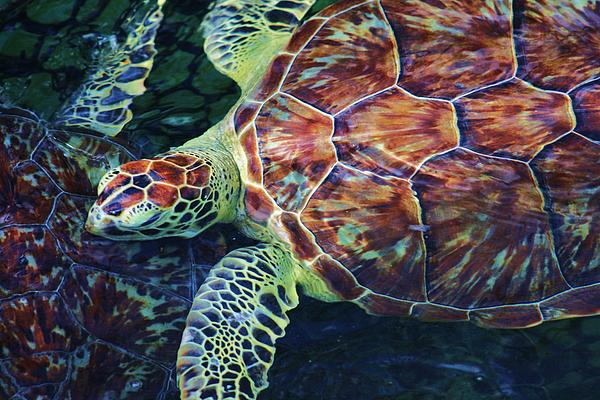 Chuck  Hicks - Green Sea Turtle