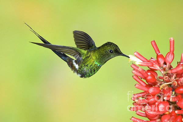 Green Thorntail Hummingbird Print by Anthony Mercieca
