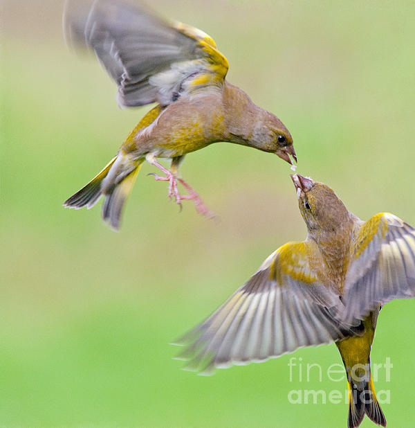 M S Photography Art - Greenfinches in flight