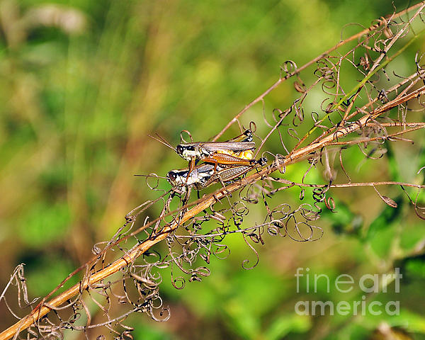 Gregarious Grasshoppers Print by Al Powell Photography USA