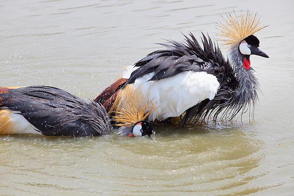 Grey Crowned Crane Washing In Natural Water Pool Print by Suriya  Silsaksom