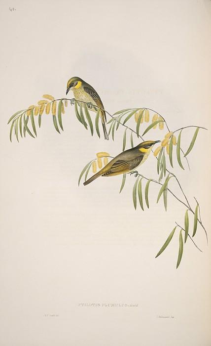 Grey-headed Honeyeaters, Artwork Print by Science Photo Library