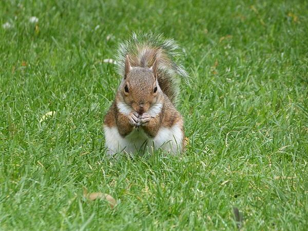 Grey Squirrel Print by Sharon Bennett
