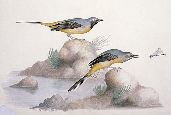 Grey Wagtail, 19th Century Print by Science Photo Library
