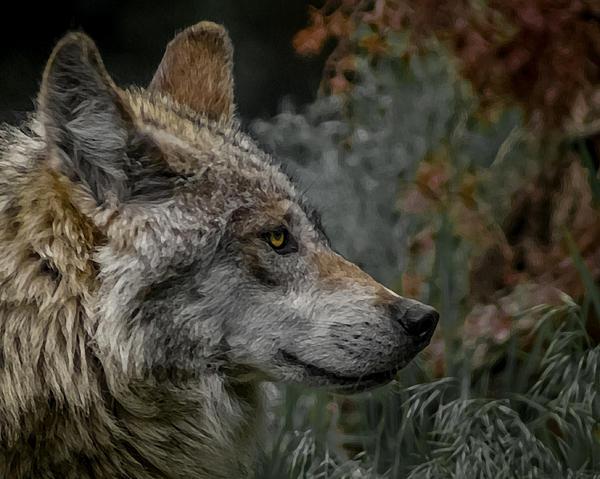 Grey Wolf Profile 3 Print by Ernie Echols