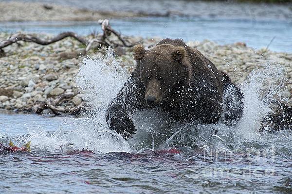 Brown Bear Pouncing On Salmon Print by Dan Friend