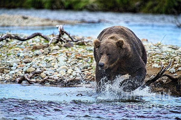 Brown Bear Spotting Salmon In Water Print by Dan Friend