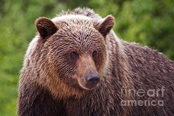 Grizzly Portrait Print by Stanza Widen