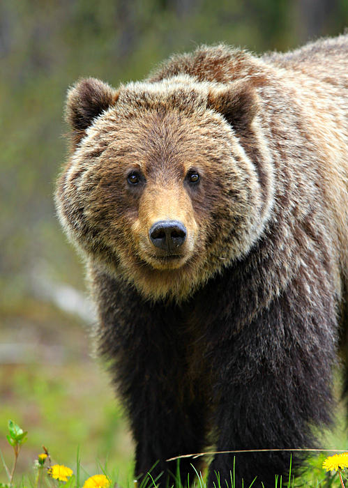 Grizzly Print by Stephen Stookey