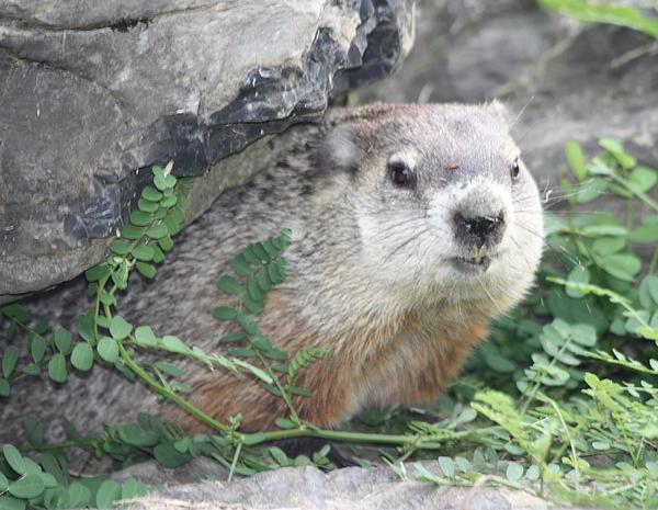 John Telfer - Groundhog Making Sure It Is Safe