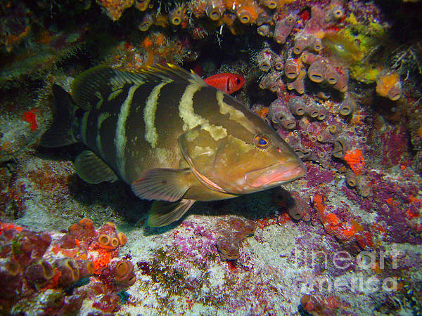 Grouper Print by Jimmy Nelson