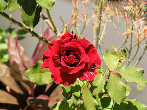 Growing Rose Print by Zina Stromberg