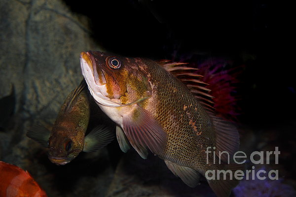 Gruper Fish 5d24129 Print by Wingsdomain Art and Photography