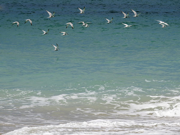 Gulls Flying Over The Ocean Print by Zina Stromberg