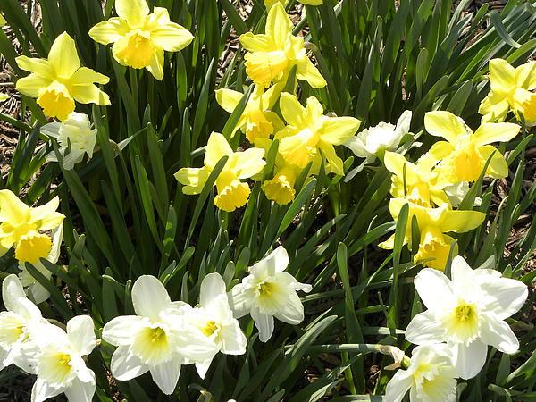 Happy Daffodils  Print by Cim Paddock