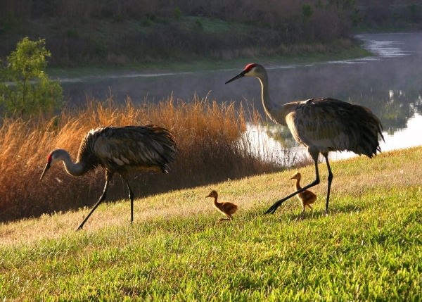 Happy Sandhill Crane Family Print by Carol Groenen