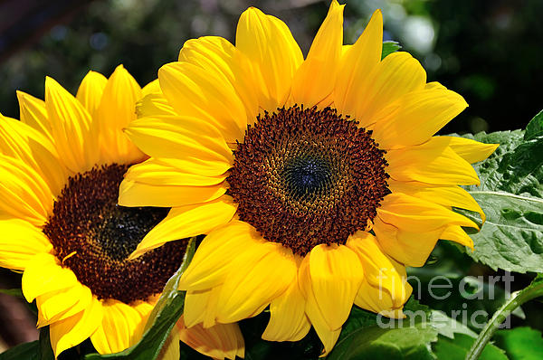 Happy Sunflowers Print by Kaye Menner