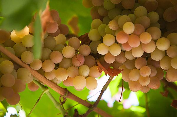 Harvest Time. Sunny Grapes II Print by Jenny Rainbow