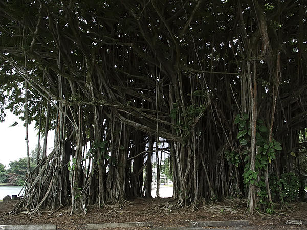 Hawaiian Banyan Tree - Hilo City Print by Daniel Hagerman