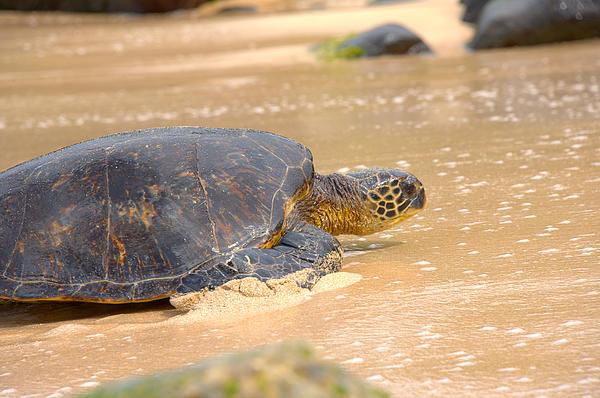 Hawaiian Green Sea Turtle 2 Print by Brian Harig