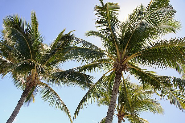 Hawaiian Palm Trees Print by Brandon Tabiolo