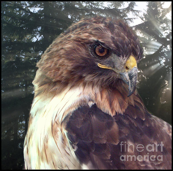 Hawk Eye - Wildlife Art Photography Print by Ella Kaye Dickey