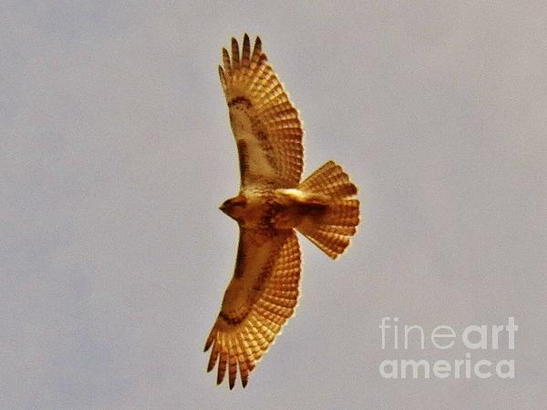 Hawk Flight Print by Judy Via-Wolff