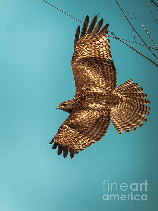 Robert Frederick - Hawk In Flight