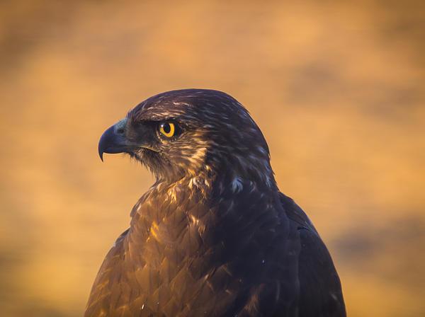 Hawk Portrait Print by Marc Crumpler