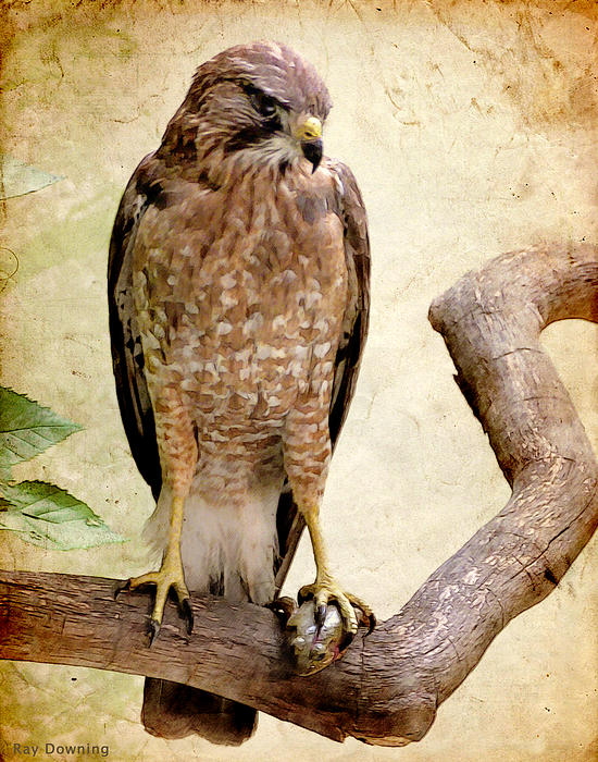 Hawk With Fish Print by Ray Downing