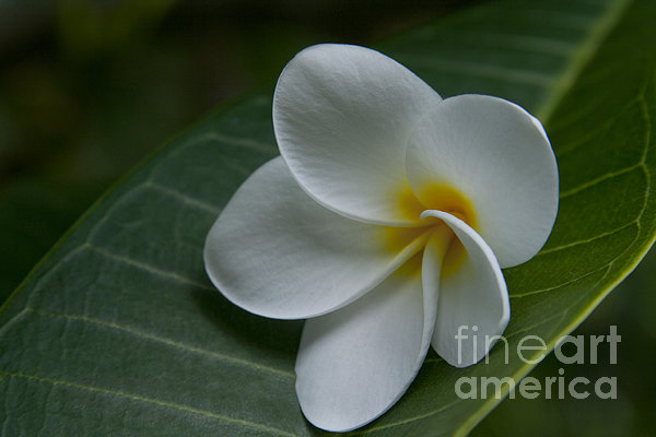 He Aloha No O Waianapanapa - White Tropical Plumeria - Maui Hawaii Print by Sharon Mau