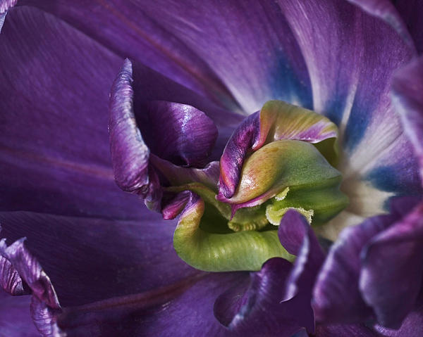 Heart Of A Purple Tulip Print by Rona Black