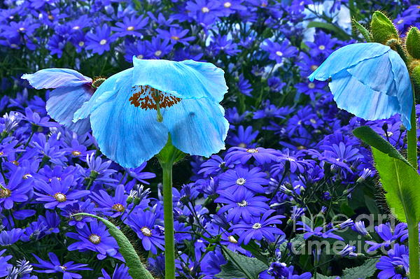 Heavenly Blue On Blue And Purple Print by Byron Varvarigos