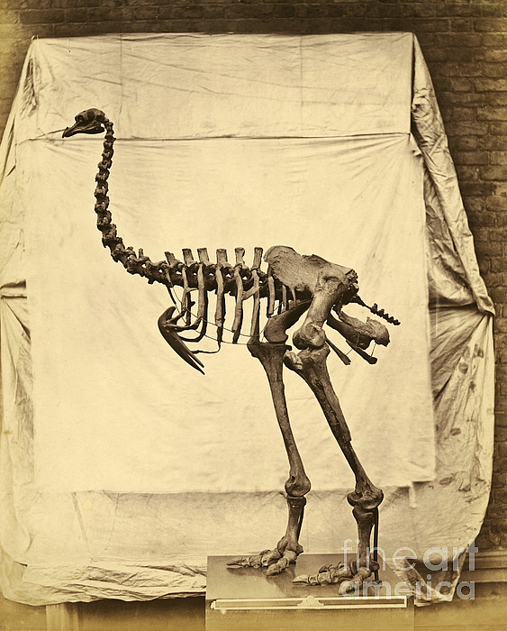 Heavy Footed Moa Skeleton Print by Getty Research Institute