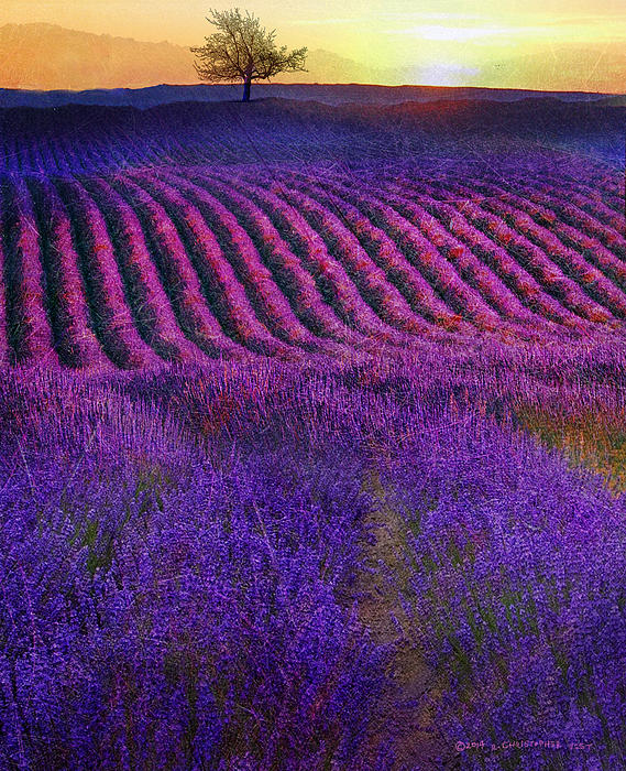 Height Of The Bloom Rolling Lavender Fields By R