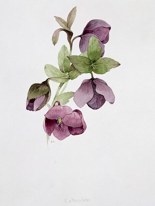 Helleborus Atrorubens Print by Sarah Creswell