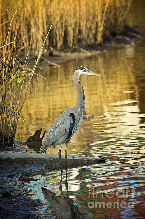 Heron Along The Bayou Print by Joan McCool